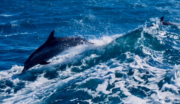 Dolphins playing in the wake of the R/V Pelican